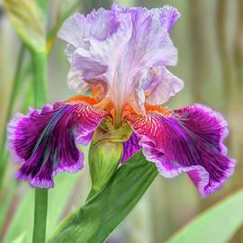 Jerri Moon Cantone - Purple Iris