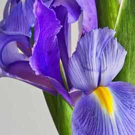 Larry Alford - Purple Iris