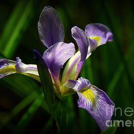 Lisa L Silva - Purple Iris