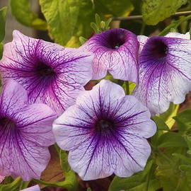 Purple Kissed Petunia