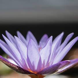 Teresa Wilson - Purple Lotus with Bokkah
