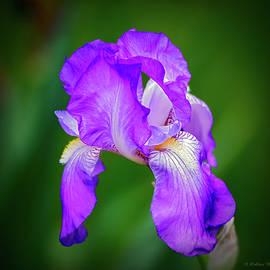 Brian Wallace - Purple Majesty