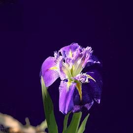 Jacquie King - Purple on Black