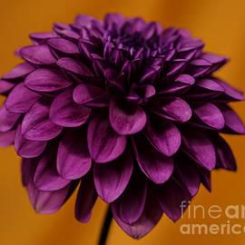 Nick  Boren - Purple On Orange