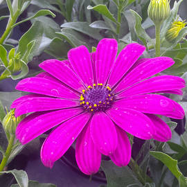 Jennifer Kohler - Purple on Purple Daisy