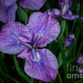 Ken Andersen - Purple Petals