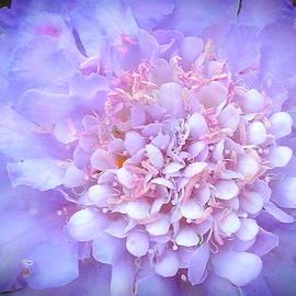 Wendy Yee - Purple Pincushion Flower
