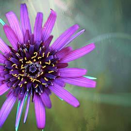 Inge Riis McDonald - Purple Salsify - 365-174