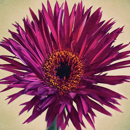 Sandi OReilly - Purple Springs Spider Gerbera Daisy