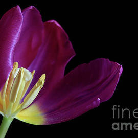 Tracy Hall - Purple Tulip