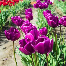 David Quist - Purple Tulips Galore