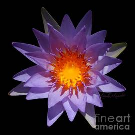 Layla Alexander - Purple Water Lily Golden Honey Drop transparent