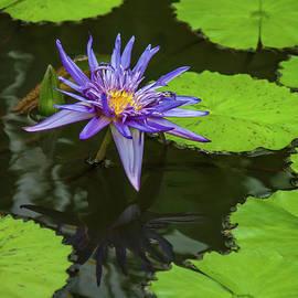 Pamela Williams - Purple Water Lily