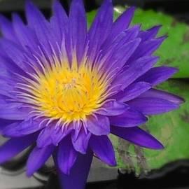 Charlotte Gray - Purple Way Delight