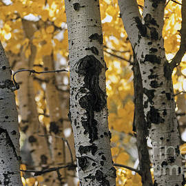 Wildlife Fine Art - Quaking Aspen Grove