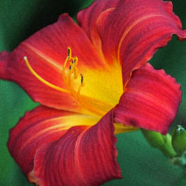 Suzanne Gaff - Queen Charlotte Daylily in Watercolor