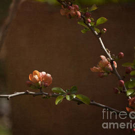 Terri  Waters - Quince Blossom