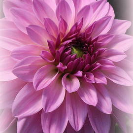 Photographic Art and Design by Dora Sofia Caputo - Radiant in Magenta - Dahlia