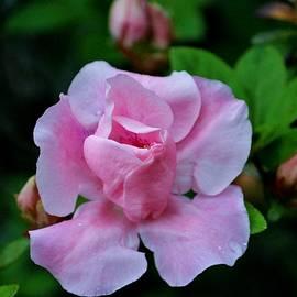 Cynthia Guinn - Raindrops On Pink Rose