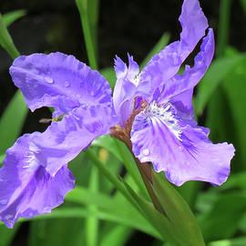 Brooks Garten Hauschild - Rainy Day Iris