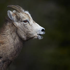 Jestephotography Ltd - Ram - A youngster