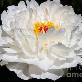 Chris Scroggins - Rare China Peony