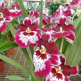 Charlotte Gray - Rare Orchids