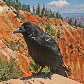 Tom Janca - Raven At Bryce Canyon Utah