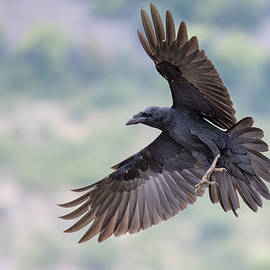 Veselin Gramatikov - Raven in flight