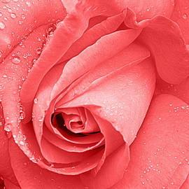 Kathy Barney - Ready to Shine Rose