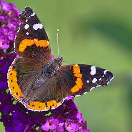 Marcia Colelli - Red Admiral Butterfly