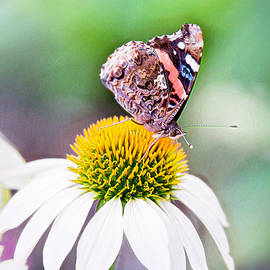 Sharon McConnell - Red Admiral Butterfly On Coneflower