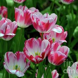 Imran Ahmed - Red and white colored tulips in a sea of green
