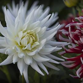 Frank Fullard - Red and white dahlias
