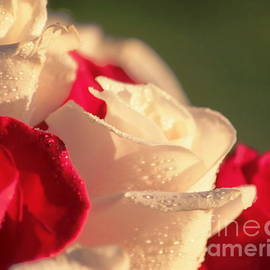 Erica Hanel - Red and White Roses