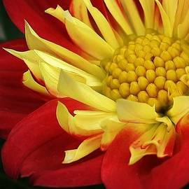 Bruce Bley - Red and Yellow Dahlia