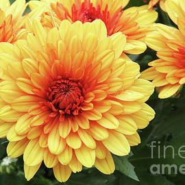 Judy Whitton - Red And Yellow Mums