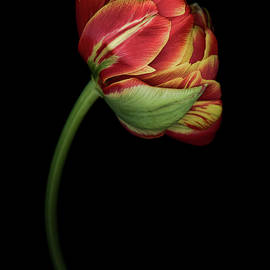 Oscar Gutierrez - Red and Yellow Tulip