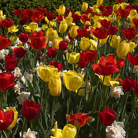 Sally Weigand - Red and Yellow Tulips