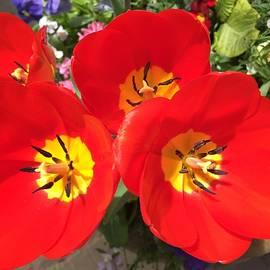 Tamara Lee Madden - Red and Yellow Tulips