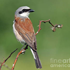 Mats Janson - Red-backed Shrike