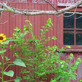 Tina M Wenger - Red Barn And Sunflower