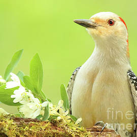 Max Allen - Red-bellied Woodpecker Among Flowers