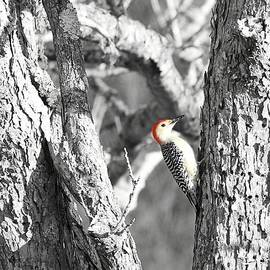 Benanne Stiens - Red-Bellied Woodpecker