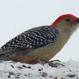 Cindy Treger - Red-bellied Woodpecker
