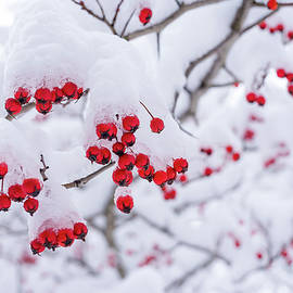 Marlon Mullon - Red Berries covered with Snow