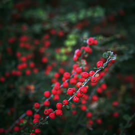 Vishwanath Bhat - Red berries in the forest