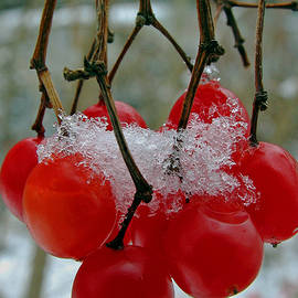 Juergen Roth - Red Berries in Winter
