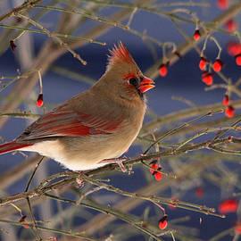 Debbie Oppermann - Red Bird Red Fruit