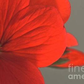 Tim Good - Red Bloom